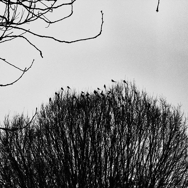 #TheBirds, specifically Acton's parakeets, were making a full on racket yesterday on or walk around the park. #POTD